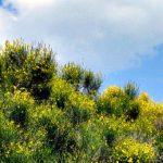 Brnistra bush
