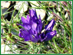 Grassy bell flowers